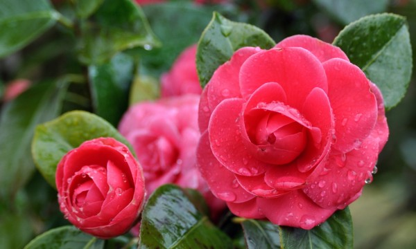 3 useful tips for Camellia