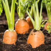 The nourishing benefits of carrots