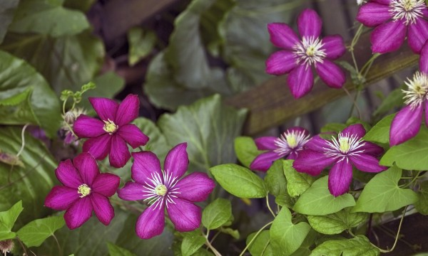 Choosing the best large-flowered clematis for your garden