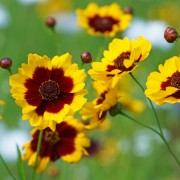 Helpful hints for cultivating colourful coreopsis
