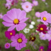 Helpful tips for growing dainty, fuss-free cosmos