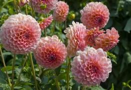 How to plant and grow vibrant dahlias