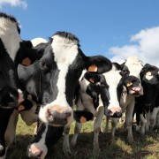Dairy cows: easy tips on what and how to feed them