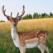 3 types of homemade deer repellent