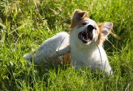 Homemade solutions to repel dog's fleas