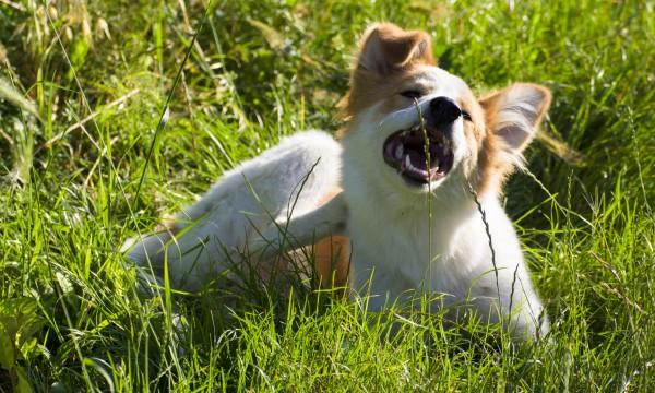 Homemade solutions to repel dog's fleas
