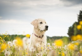 Pros and cons of shots to cure your dog's allergies