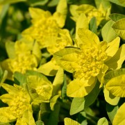 How to select, plant and grow trouble-free euphorbias