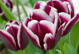 How to care for and plant flower bulbs