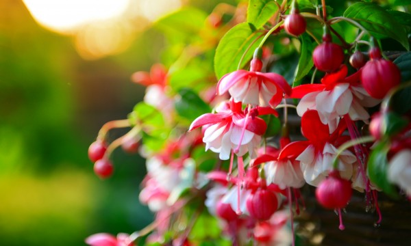4 tricks for healthy and full fuchsia plants