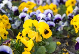 3 tips for getting the most out your annual flowers