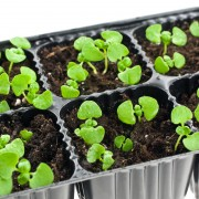Growing rooted cuttings in your home nursery