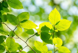 3 easy tips for growing Hornbeam