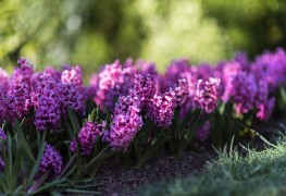 Growing hardy wood hyacinth in the springtime garden