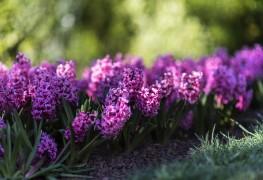 Growing hardy wood hyacinth in the springtime garden