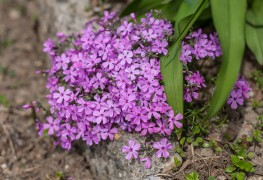 Care-free perennials for spring: woodland phlox