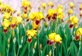 6 ways to welcome irises into your garden