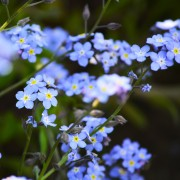 Giving the garden a pop of blue with dainty forget-me-nots