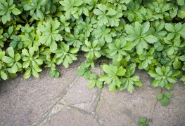 7 pointers for planting versatile groundcovers