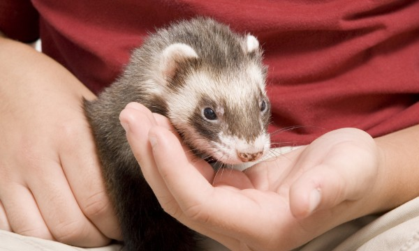 11 must-know facts about owning a ferret