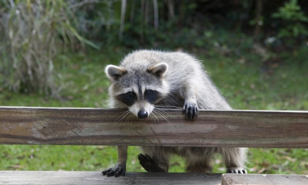 3 simple ways to keep raccoons out of your garden smart tips - How to keep raccoons out of garden ...