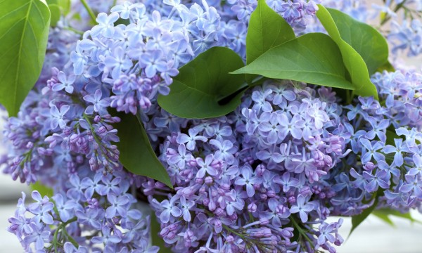 6 tips for making a better lilac bouquet