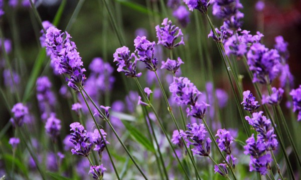 Lavender: discover this sleep-boosting superstar