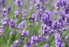 7 facts about lavender every gardener should know