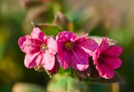 3 tips for growing Lungwort