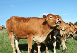 3 easy steps for breeding and milking dairy cows