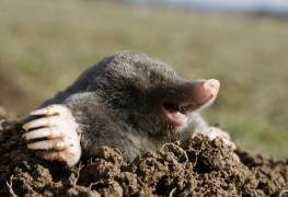 Stop moles from tearing up your yard
