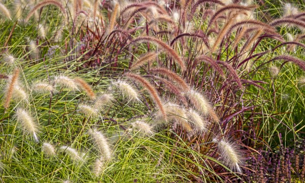 Ornamental Grasses How to growing ornamental grasses from seeds smart tips how to growing ornamental grasses from seeds workwithnaturefo