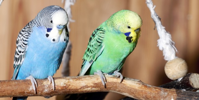 Homemade toy ideas and treats for pet birds