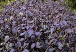 The essentials to a healthy perilla plant