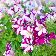 5 pointers for growing fabulous petunias