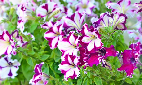 5 Pointers For Growing Fabulous Petunias Smart Tips