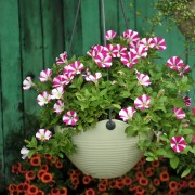For instant colour: 16 care-free plants that grow well in containers