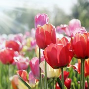 Pointers for successfully planting and growing tulips