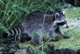 Deer- and raccoon-proofing your yard 101