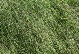 When to apply a crabgrass preventer to your lawn