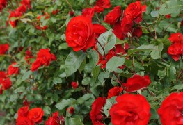 Pruning bushes and trees for beautiful roses