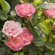 8 popular types of roses to grow in your garden