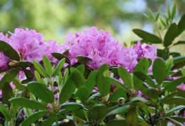 8 tricks for growing azaleas and rhododendrons in the shade of your garden