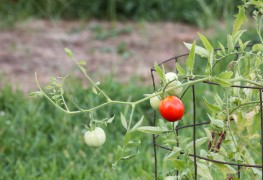 3 tips for growing tomatoes in a container
