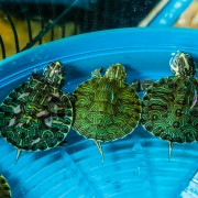 Homemade food for turtles, reptiles and aquarium fish