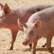 Proven pointers to take advantage of raising pigs
