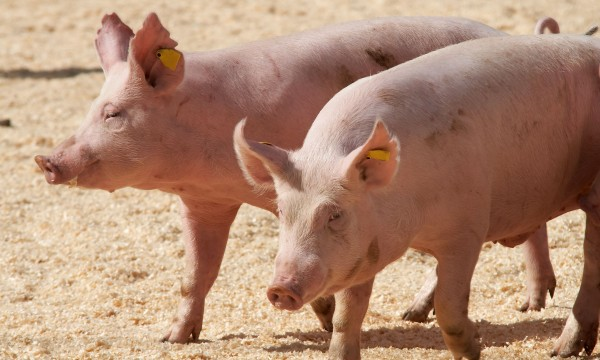 Proven pointers to take advantage of raising pigs
