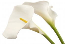 Information you need to care for calla lillies