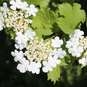 Planting and caring for viburnum shrubs