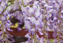 4 techniques to grow (and manage!) wisteria